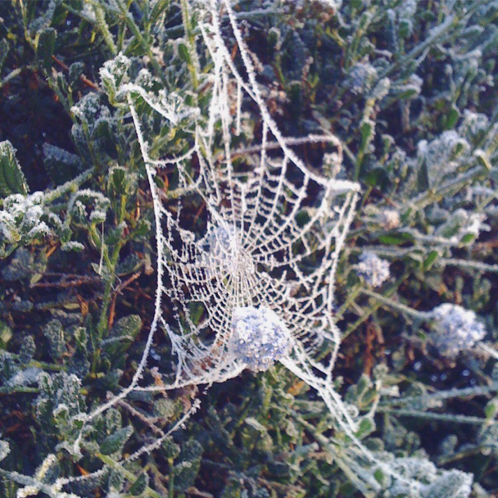 sgiew_white-cobweb